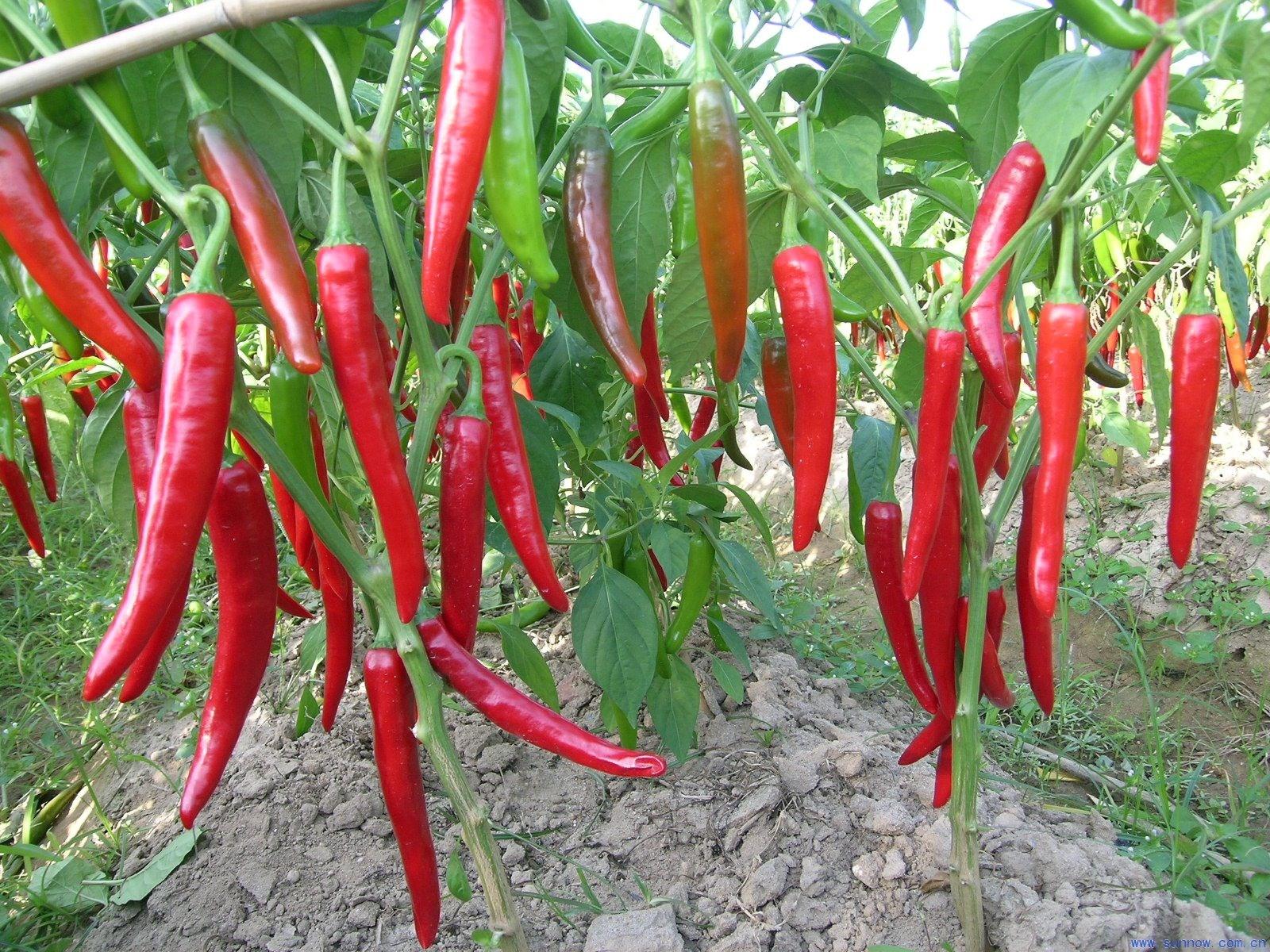 kỹ thuật trồng và chăm sóc ớt
