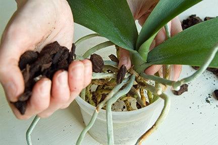 lam sao de lan phat trien tot sau khi tach chiet 1 - Làm sao để lan phát triển tốt sau khi tách chiết