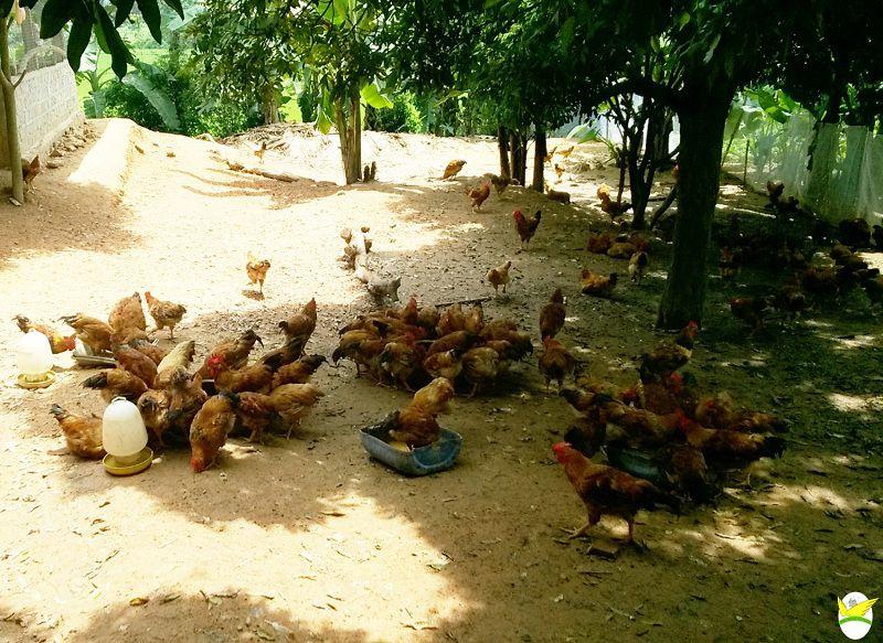 lich tiem vacxin cho ga tha vuon bang gia cac loai vacxin cho ga 1 - Lịch tiêm Vacxin cho gà thả vườn. Bảng giá các loại Vacxin cho gà
