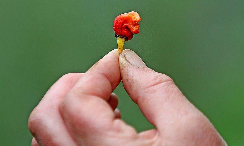 Ớt nào cay nhất thế giới? Danh sách những loại ớt cay nhất thế giới