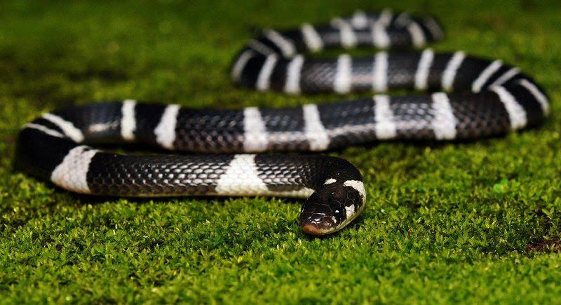 loai ran nao doc nhat the gioi 3 - Loài rắn nào độc nhất thế giới?