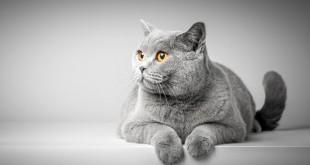 mèo mang thai