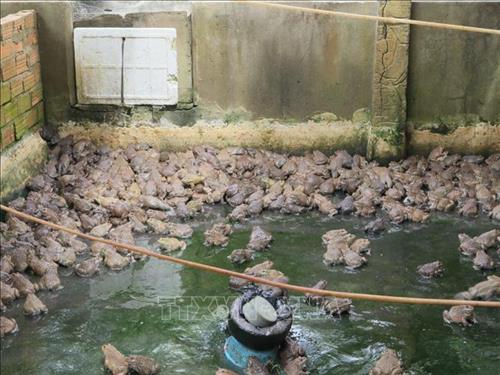 mo hinh nuoi ket hop ech va ca lam giau cua anh cao van phuong 1 - Mô hình nuôi kết hợp ếch và cá làm giàu của anh Cao Văn Phương