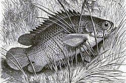 bệnh cá rô đồng