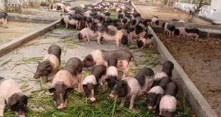 Mua lợn giống ở đâu? Các trang trại bán lợn giống Bắc, Trung, Nam