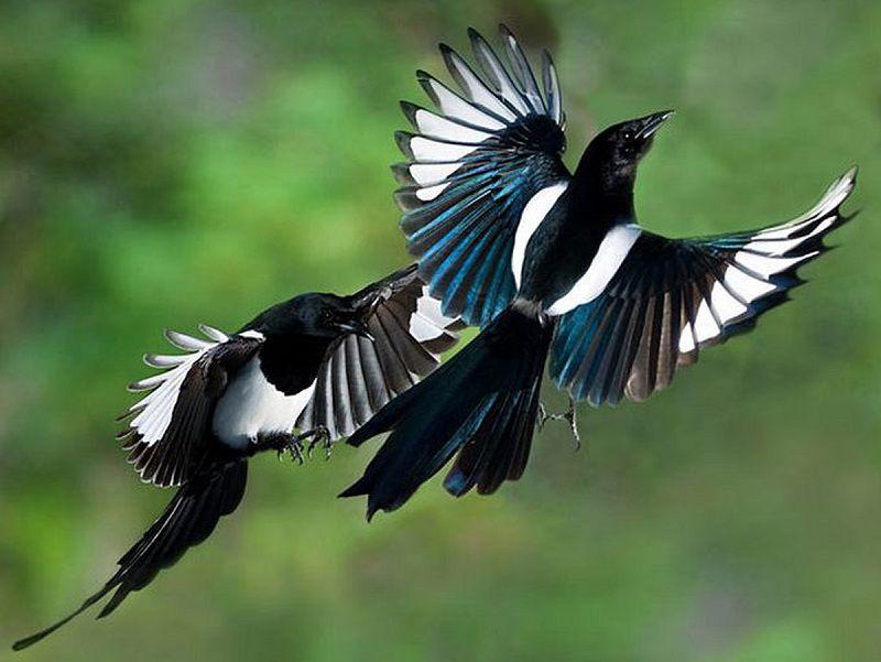 Cách phân biệt, dấu hiệu nhận biết chim Chích Choè Than trống mái