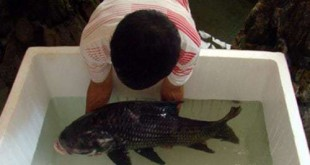 cá hô đen