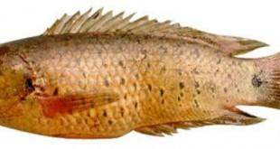 cá rô đồng