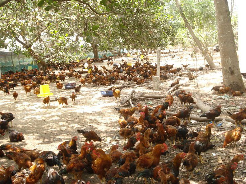 Nuôi gà thả vườn cần bao nhiêu vốn? Giá gà thả vườn giống, thịt hiện nay