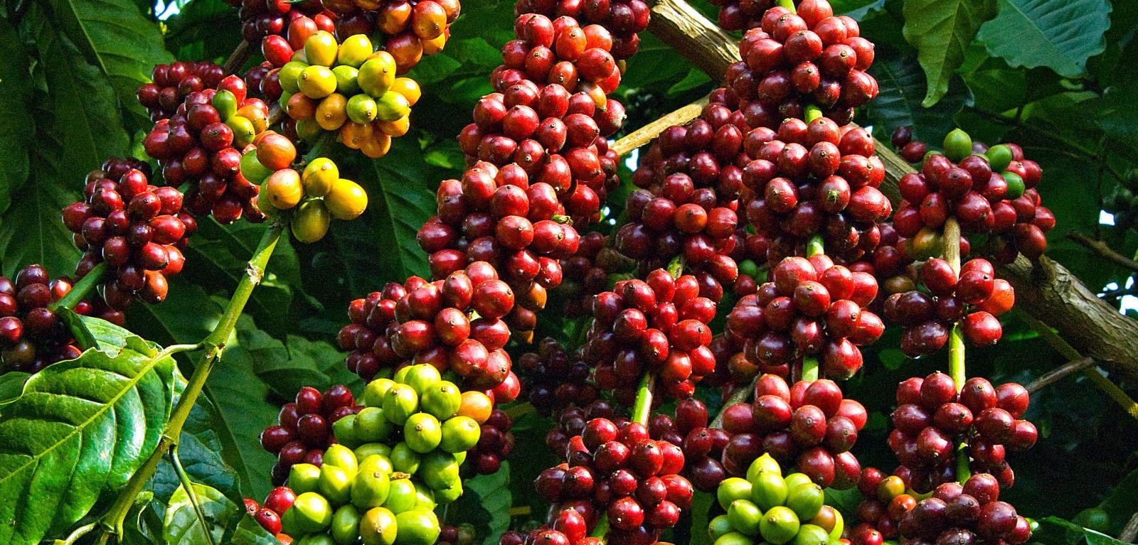 phong tru sau duc than cho cay ca phe 1 - Phòng trừ sâu đục thân cho cây cà phê