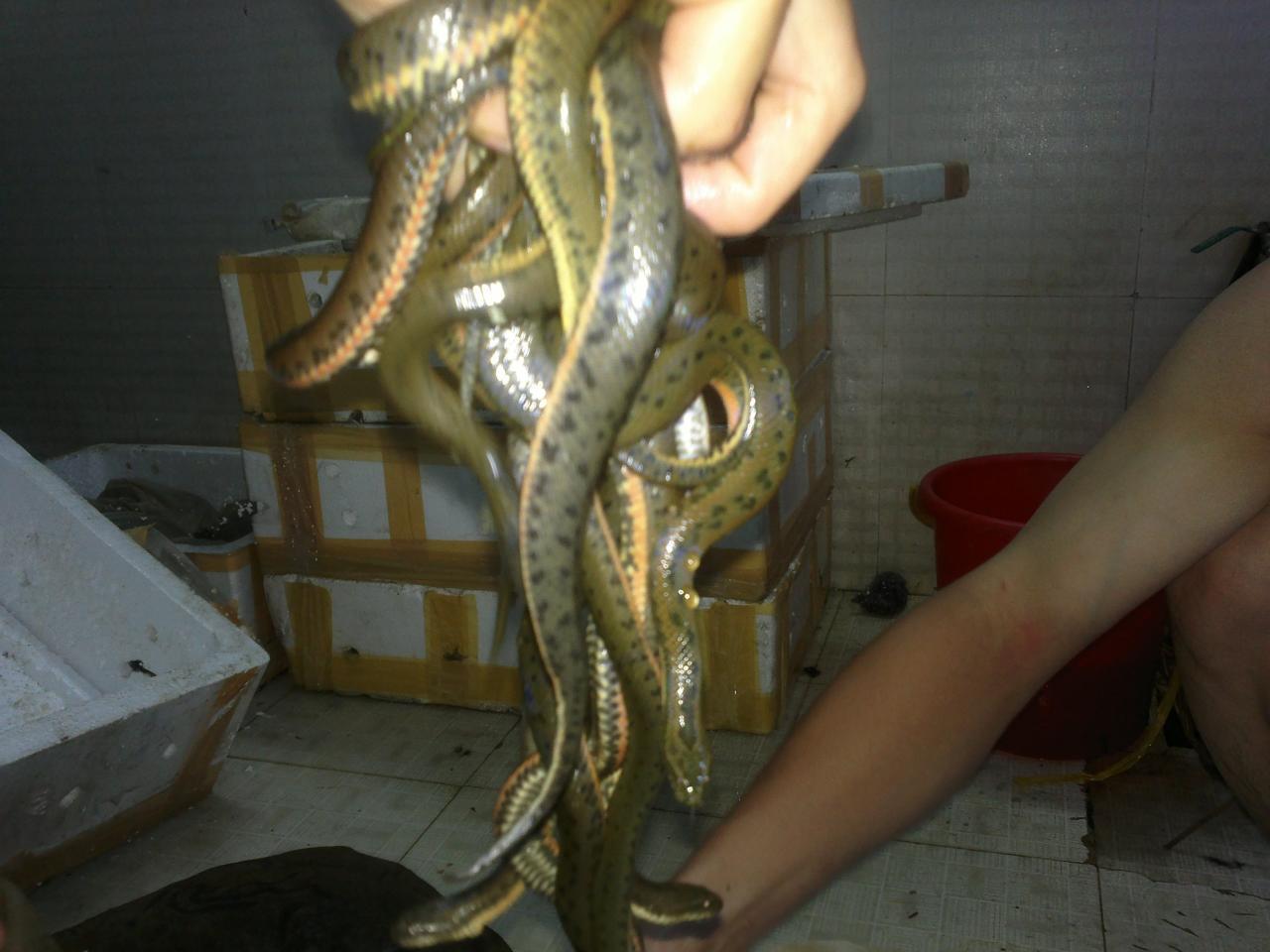 rắn mùng đỏ
