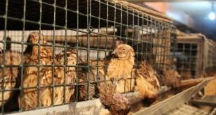 Thức ăn cho chim cút theo từng giai đoạn. Giá thức ăn cho chim cút
