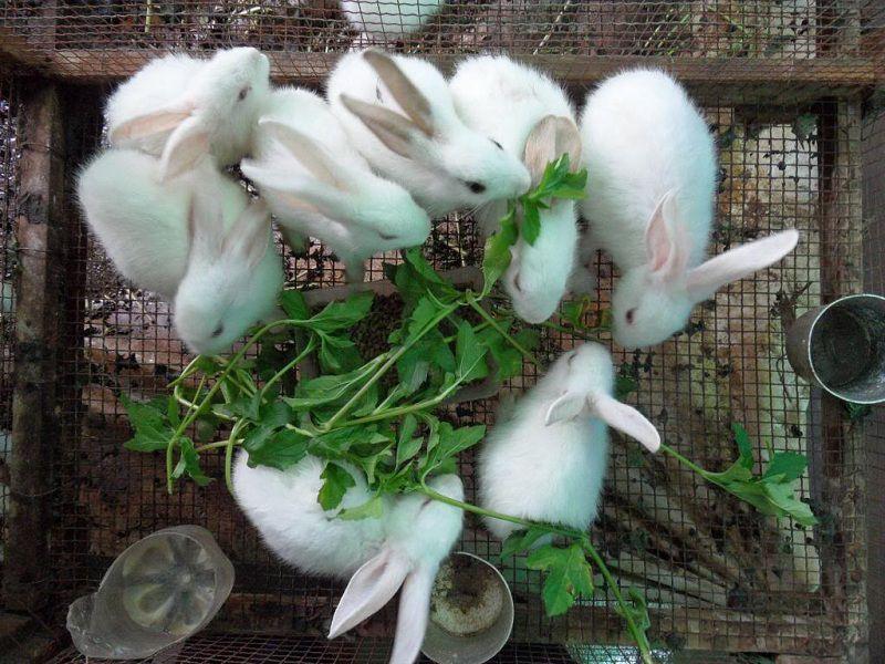 Thức ăn nuôi thỏ thịt và thỏ sinh sản theo từng giai đoạn