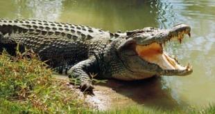 trang trại nuôi cá sấu