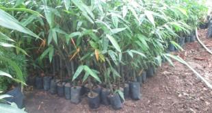 trồng và chăm sóc măng tre