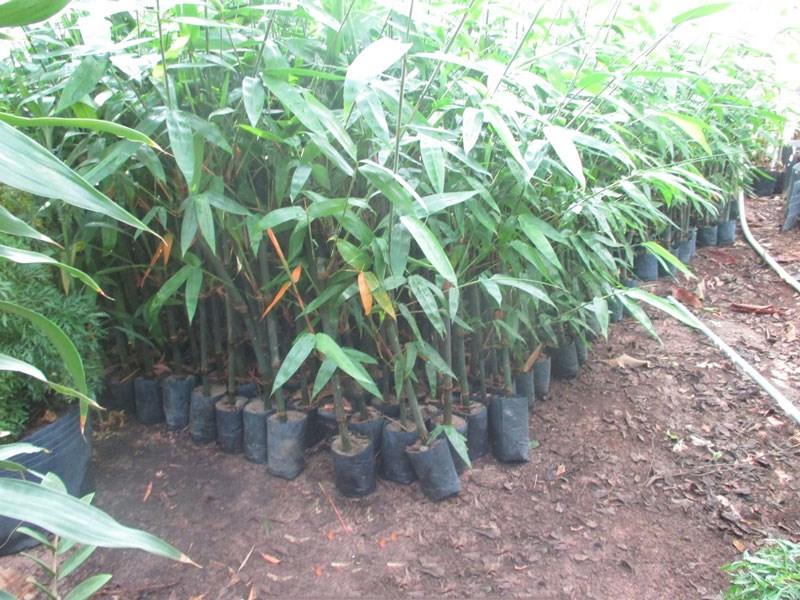 trong va cham soc cay mang tre mang lai hieu qua cao - Trồng và chăm sóc cây măng tre mang lại hiệu quả cao