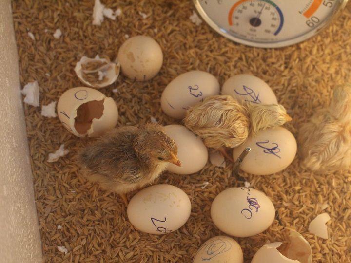 trung ga ap bao nhieu ngay thi no cach nhan biet trung ga sap no 1 - Trứng gà ấp bao nhiêu ngày thì nở? Cách nhận biết trứng gà sắp nở